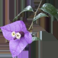 Bugambilia Moradita